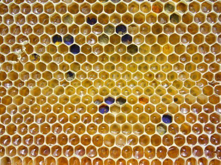 Bee bread will be made from this colourful bee pollen packed into comb through a process of fermentation